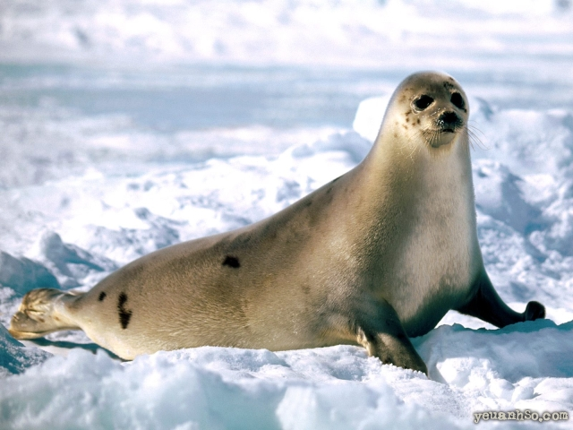 related pictures seal arctic - photo #11