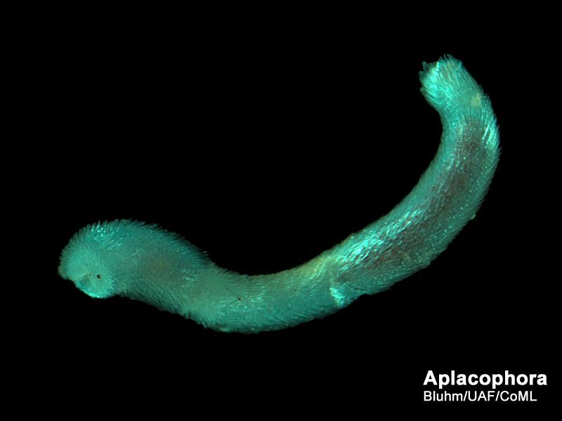 Aplacophorans Arctic Ocean biodiversity