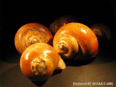 molluscs arctic ocean biodiversity