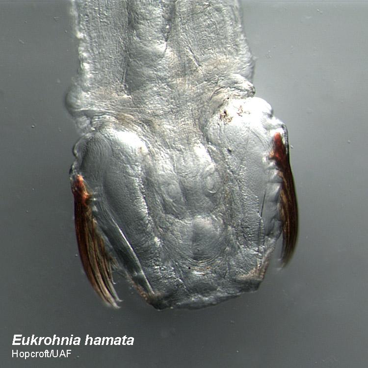 [Image: Eukrohnia_hamata-head-750x750.jpg]
